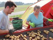 Haid: Die beliebteste Knolle in der Region