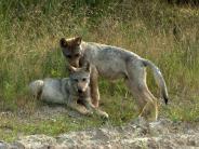 Wölfe: Drei Jungwölfe im Bayerischen Wald geboren