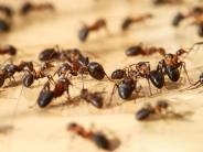 Großes Krabbeln: Neu entdeckte Käferart tarnt sich als Ameisen-Hinterteil