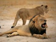 Simbabwe: Großwildjäger töten den Sohn von Löwe Cecil