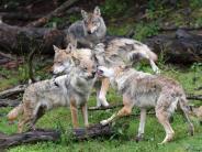 Bayern: Dürfen Wölfe in Bayern bald wieder geschossen werden?