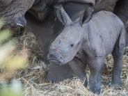 Tiere: Nashorn-Baby im Safari-Zoo in Israel geboren