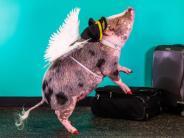 : Minischwein LiLou hilft gegen Flugangst