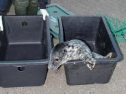 Tierforschung: 40 Tage bis zum Verhungern: Wie kleine Kegelrobben jagen lernen