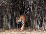 Tiere: Forscher entdecken seltenen Tiger in Thailand