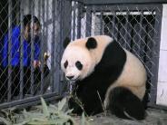 Nach 17-stündigem Flug: Riesenpanda Bao Bao in China gelandet