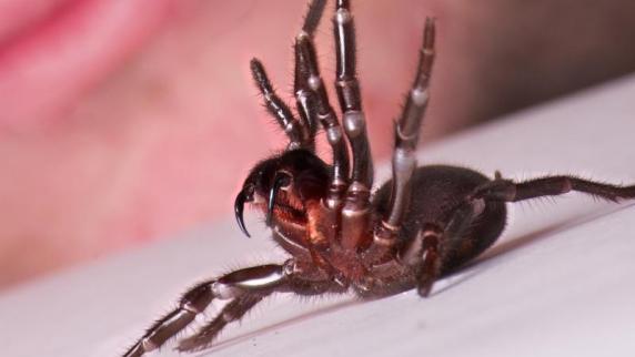 Riesige Menge Gegengift rettet Kind nach Spinnenbiss das Leben