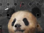Meng Meng & Jiao Qing: Kuschel-Diplomatie: Zwei Pandas in Berlin