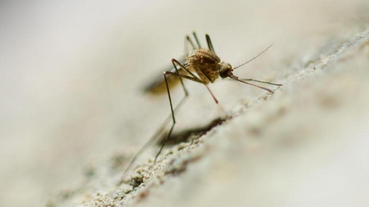 suche nach ort zum Überwintern: nahender herbst treibt stechmücken ... - Mücken Im Schlafzimmer