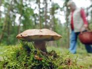 Jahrzehnte nach Tschernobyl: Pilze in Bayern nach wie vor radioaktiv verseucht