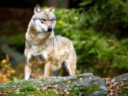 Bayerischer Wald: Entlaufener Wolf in Lebendfalle gefangen