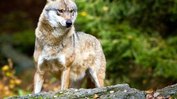 Entlaufene Wölfin in Lebendfalle gefangen - Weiteres Tier angefahren?