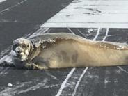 «Alaska-Probleme»: Robbe blockiert Flugzeuglandebahn