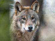 Emotionaler Kulturkampf: Schießen oder schützen: Umgang mit Wölfen polarisiert
