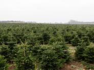 Kritik vom BUND: Weihnachtsbäume oft mit Pestiziden belastet