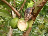 Invasive Arten: Afrikanische Riesenschnecke wird zur Gefahr für Kubas Ernten