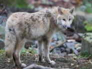 Landtagswahl 2017: Warum der Wolf dieWahl in Niedersachsen entscheiden könnte