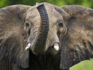 Artenschutz: Bedrohte Elefanten: Trump lässt wieder Elfenbein in die USA