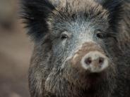 Schonzeit aufgehoben: Bundesregierung verstärkt Vorkehrungen gegen Schweinepest