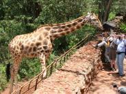 Tourismus: Giraffen streicheln in Kenia