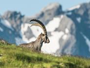 Schweizer Alpen: Steinböcke treten Steine los - deutscher Wanderer tot