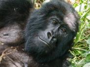 Urlaubsattraktion: Gorilla-Tracking in Afrika: Was Reisende wissen müssen