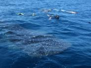 Tourismus: Aug in Aug mit Walhaien