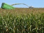 Landkreis Augsburg: Der Mais wächst über sich selbst hinaus