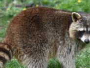 Kreis Augsburg: Naturschützer warnen vor tierischer Invasion