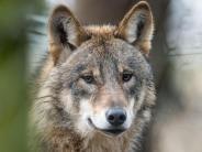 Tipps und Tricks: Begegnung mit einem Wolf: Laute Rufe können Tier vertreiben