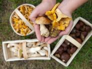 Pilze sammeln: Vorsicht, Verwechslungsgefahr: Genießbare Pilze richtig erkennen