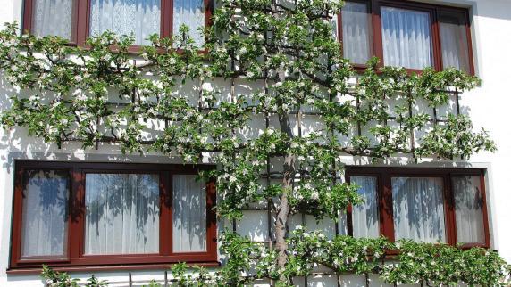 : Birnbaum als blühender Kreuzstock