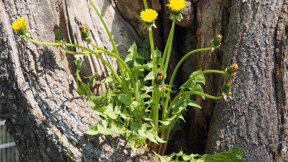 : Blumenschmuck für die Linde