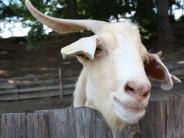 Sonderheim: Unbekannte werfen Ziegenbock über einen Zaun