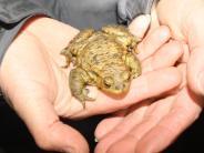 Prettelshofen/Pfaffenhofen: Für liebestolle Kröten sind Autos die schlimmsten Feinde