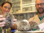 Tierschicksal im zusamtal: 140 Gramm, stachelig, hilfsbedürftig