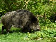 Gersthofen: Wildschweinrotte rast über die Bundesstraße