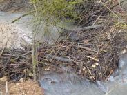 Natur: Haunsheimer ärgern sich über den Biber