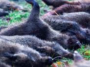 Landkreis Dillingen: Schweinpest beschäftigt Tierkörper-Entsorger