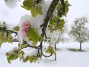 Frostschäden: Bauern beklagen große Frostschäden bei Obst und Wein