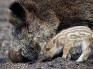 Augsburg: Warum sich Wildschweine in die Stadt verirren