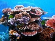 Ozeanversauerung: Korallenriffe verlieren zwei Drittel ihres Zooplanktons