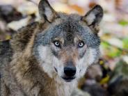 Wolfsrudel: Der Wolf ist zurück - bald auch in der Region?
