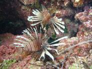 Wissenschaft: Exotische Rotfeuerfische breiten sich im Mittelmeer aus