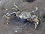 Krabbe statt Scholle: Klimawandel beeinflusst wichtige Nordsee-«Kita»