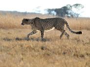 Wie finden Tiere ihre Gruppe?: Geparden setzen auf Glück und ihre gute Nase