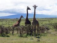 Auf Roter Liste: Naturschützer warnen:Giraffen vom Aussterben bedroht