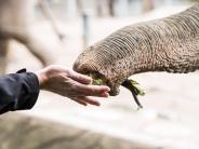 Beweglich und präzise: Der Trick mit dem Knick:Wie Elefantenrüssel greifen