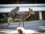 Hormonschub: Ungewöhnliches Paar: Affe liebt Hirsch