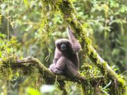 Noch ein Skywalker: «Star Wars»-Affe schwingt sich durch chinesische Wälder